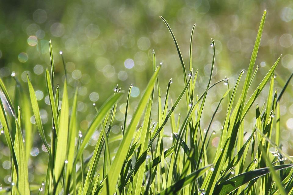 græs med morgendug
